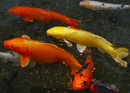 koi fishes