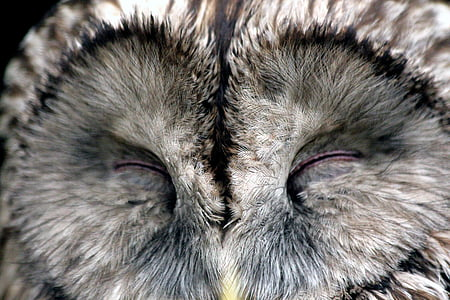 gray owl with closed eyes