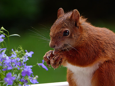 brown rodent in front of purple flower