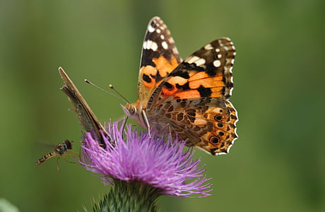 painted lady butterfly collecting nectar to purple flower