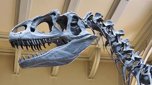 grey dinosaur skeleton