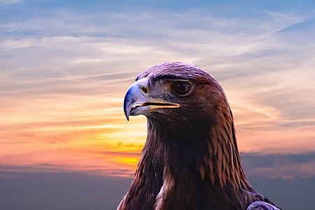 brown american eagle