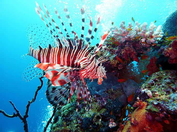 lion fish underwater
