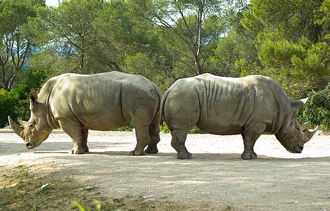 two rhinoceros beside each other