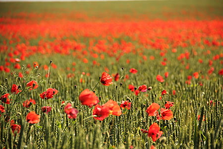 selective focus photo of red poppy flower field