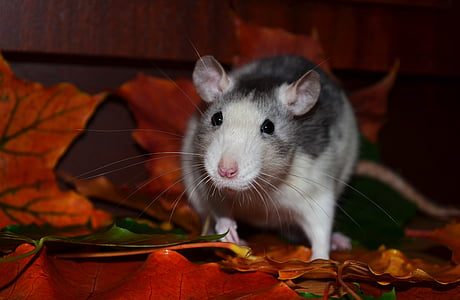 white and grey rat on orange artificial plant