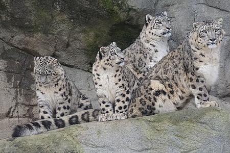 four brown leopards