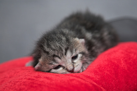 close up photography of silver tabby kitten
