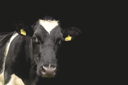 black and white cow in black background