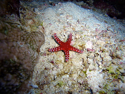 red starfish on coral