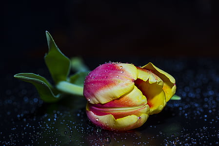yellow-and-pink rose