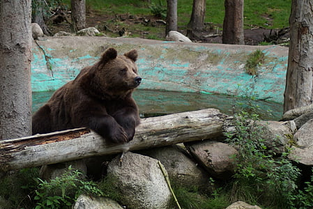 brown bear on top of brown tree log