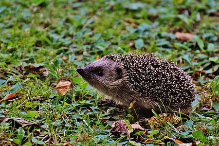 hedgehog on ground