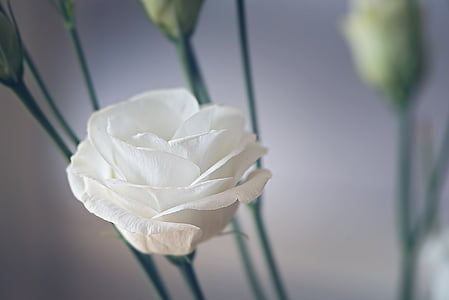 white rose selective focus photography