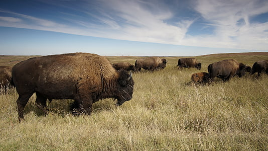 herd of brown bison on brown grassfield during daytime