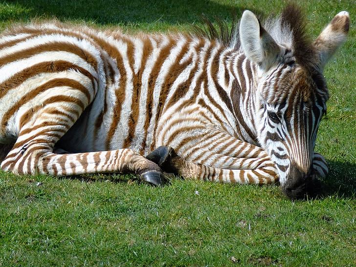 zebra resting on grass field