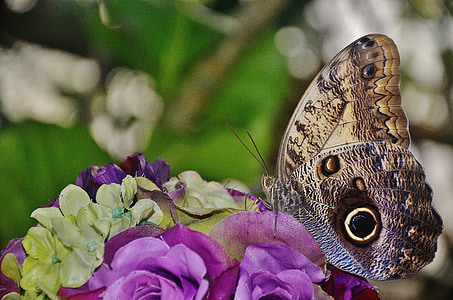 brown owl butterfly perched on purple rose