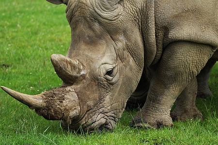 Rhino on green grass