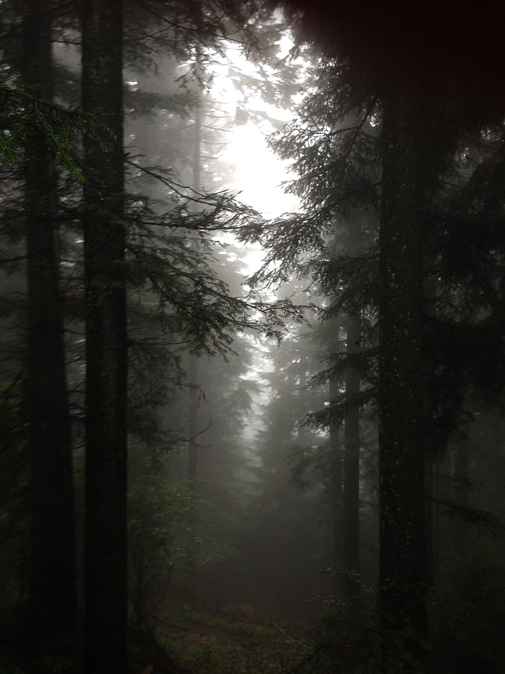 pine trees on forest with fogs