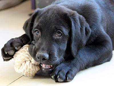 adult black Labrador retriever playing white rope
