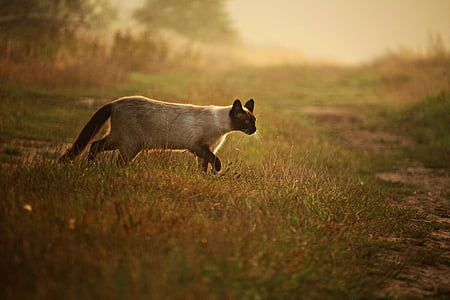 photo of siamese cat walking on grass covered ground