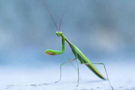 green praying mantis on gray pavement