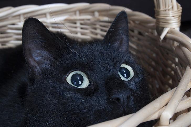 bombay cat in basket