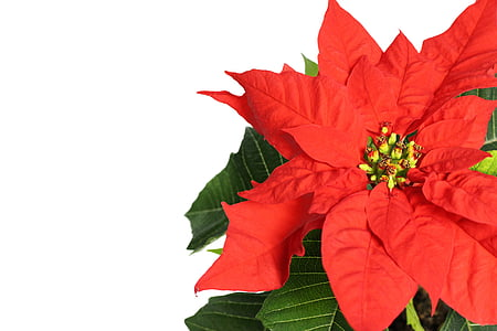 close up photography of red poinsettia flower