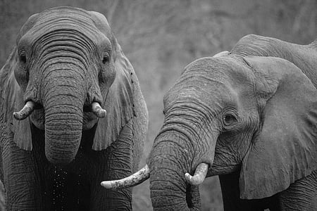 animal photography of two elephants