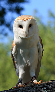 focused photography of white and brown owl