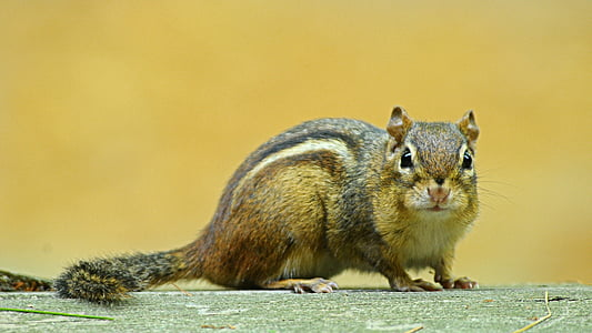 brown squirrel photography
