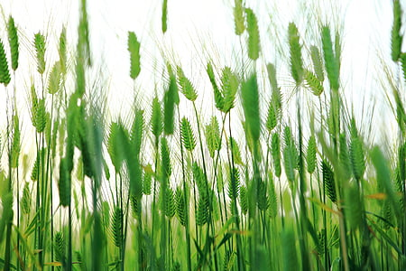 green wheat closeup photo