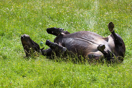 black cow lying on grass
