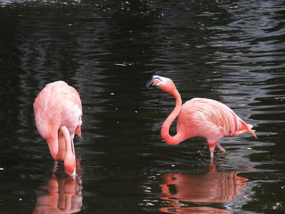 flamingo, water birds, exotic birds, flamingos, pink flamingo, birds