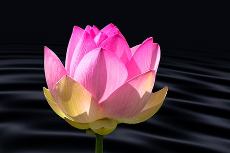 closeup photo of pink waterlily flower