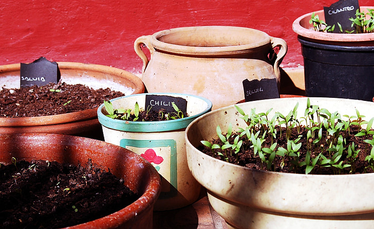aromatic plants, cilantro, chilis, first outbreaks, plant, nature