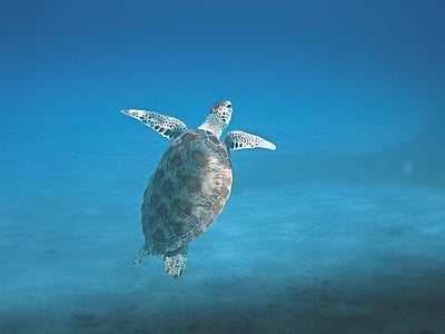 underwater photography of sea turtle