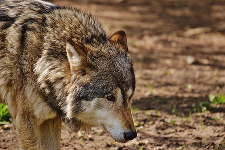 wolf standing on brown soil