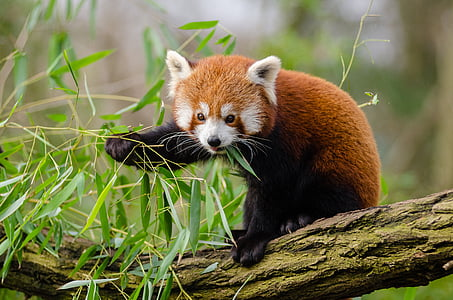red Panda on brown wooden tree trunk