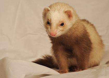 white and brown ferret on white textile
