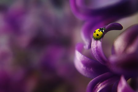 10-spotted bug on purple petaled leaf
