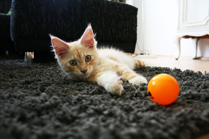 cat, pet, longhair cat, cat face, animals, main coon