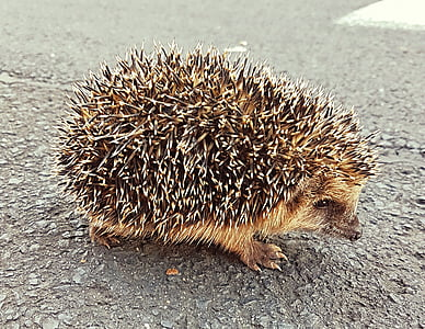brown and black hedgehog on gray surface