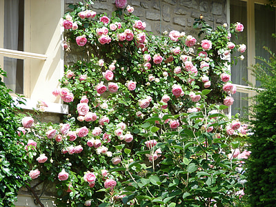 pink-and-white petaled flowers beside gray and white concrete house at daytime