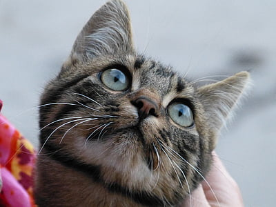 closeup photography of grey and brown tabby cat looking up
