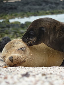 two dark-brown and light-brown seals