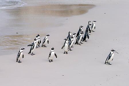 flock of penguins on seashore