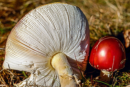 two white-and-red mushrooms at daytime