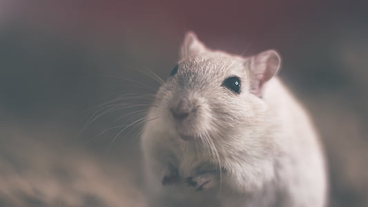 white rodent