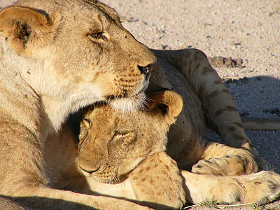 lioness and cub lying on soil